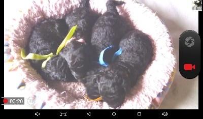 Caniche - Adorables bébés caniches nains noirs - de la Brissotière
