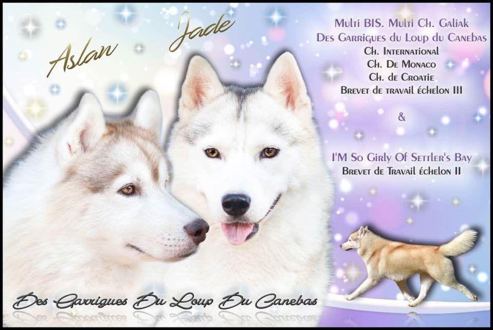 Des garrigues du loup du canebas - Chiot disponible  - Siberian Husky