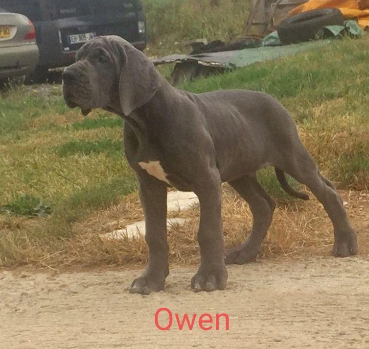 du domaine de Sultan - Chiot disponible  - Dogue allemand