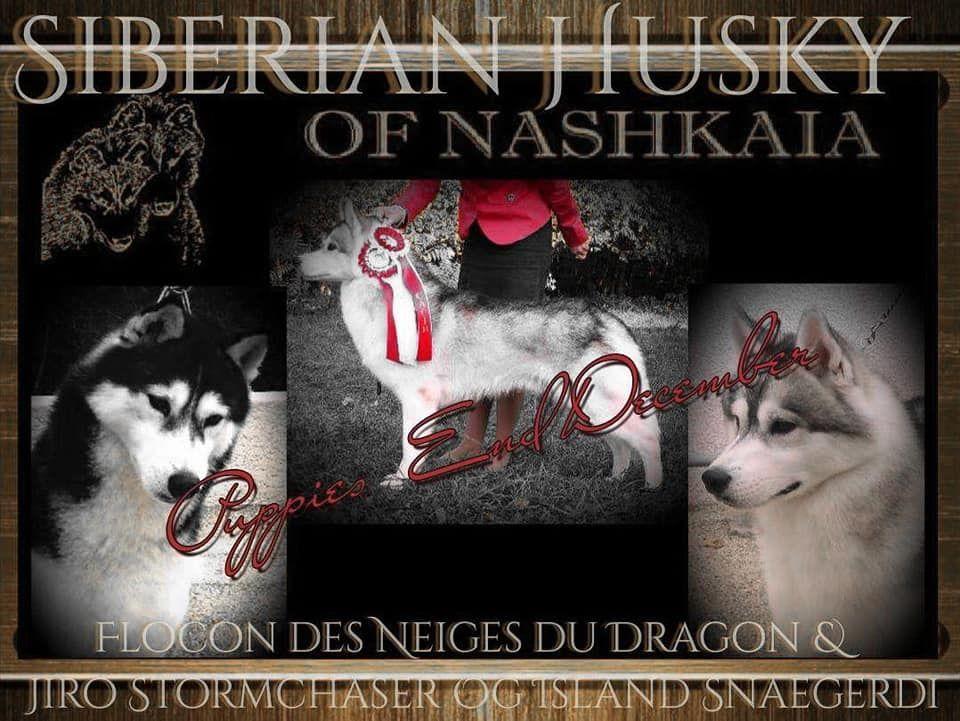 of nashkaia - Chiot disponible  - Siberian Husky