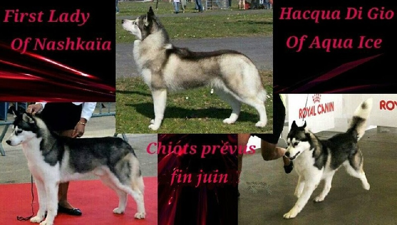 of nashkaia - Siberian Husky - Portée née le 01/07/2016