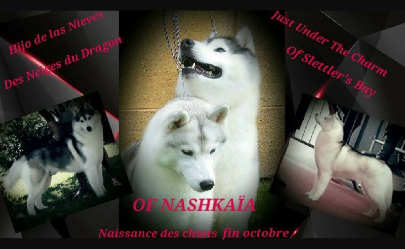 of nashkaia - Siberian Husky - Portée née le 03/11/2016