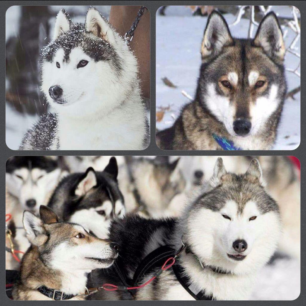chiot Siberian Husky of nashkaia