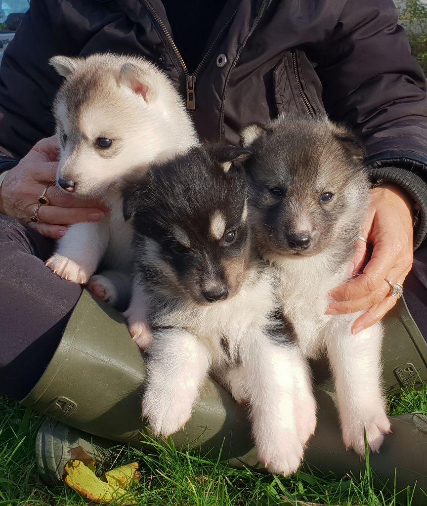 of nashkaia - Siberian Husky - Portée née le 02/11/2018