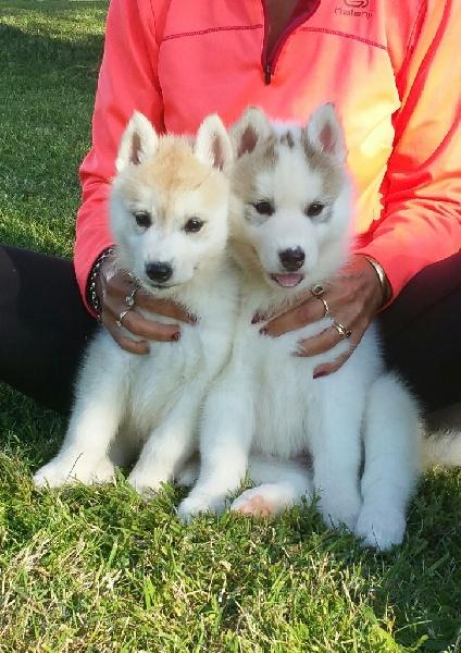 of nashkaia - Siberian Husky - Portée née le 27/07/2015