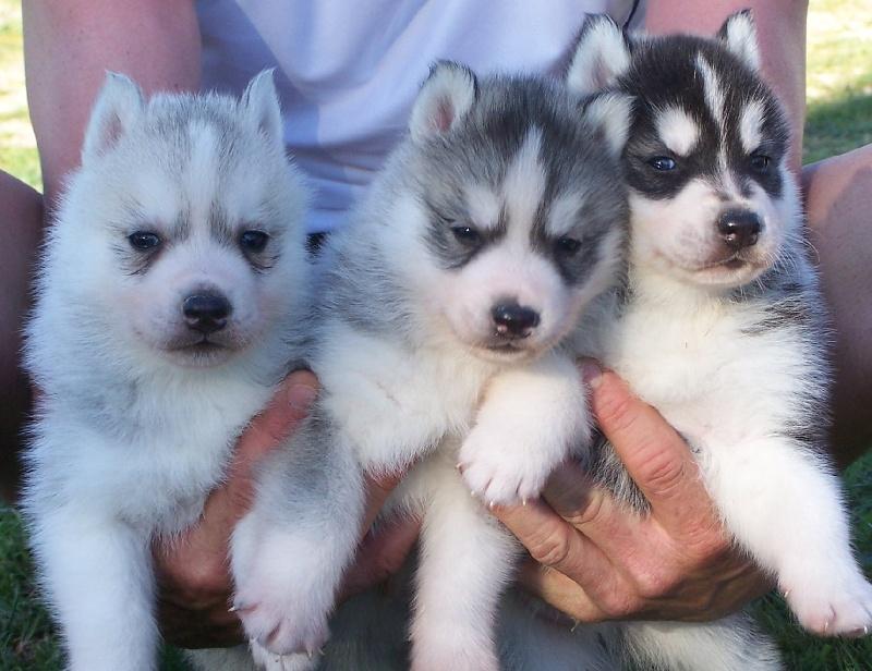 of nashkaia - Siberian Husky - Portée née le 09/03/2011