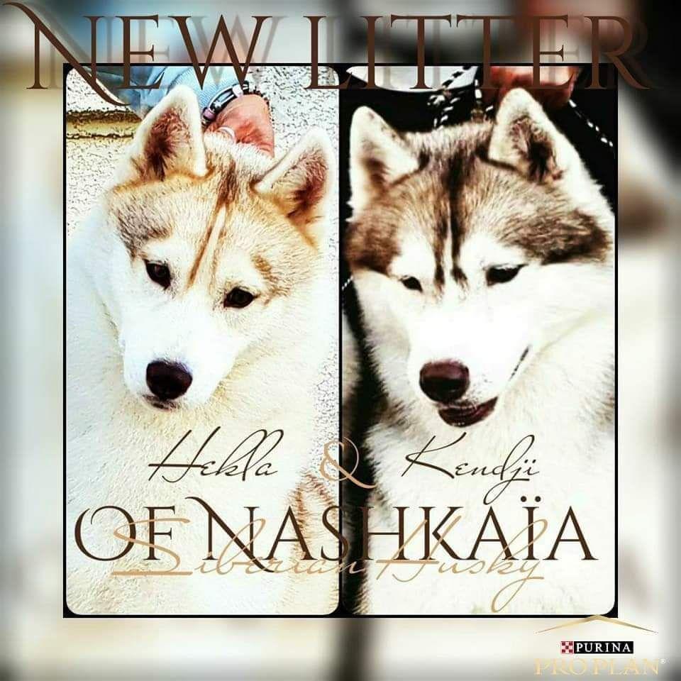 of nashkaia - Siberian Husky - Portée née le 09/03/2021
