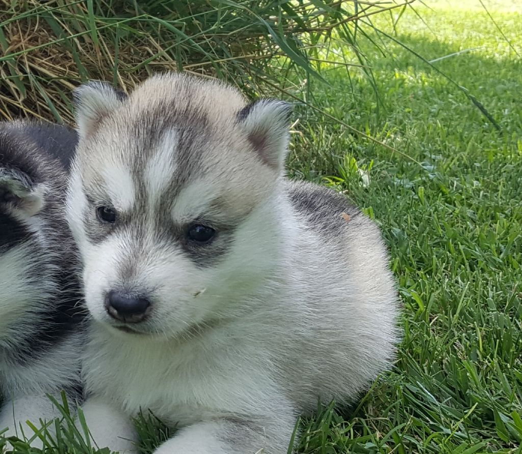 of nashkaia - Chiot disponible  - Siberian Husky