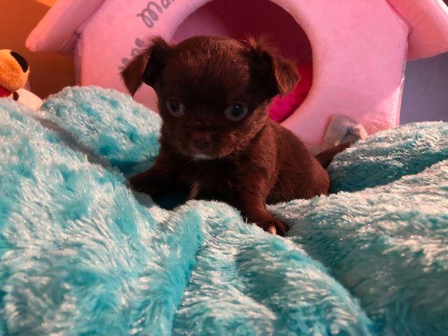des Brumes de Rhodanie - Chiot disponible  - Chihuahua