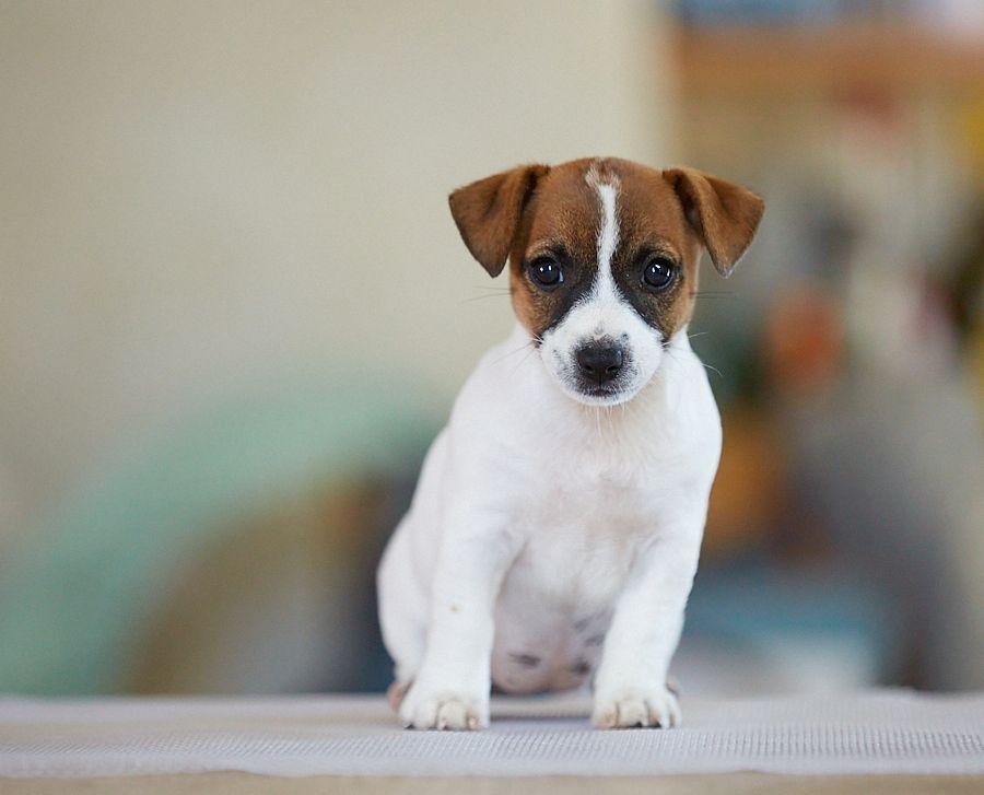 D'Austral Et Boréal - Chiot disponible  - Jack Russell Terrier