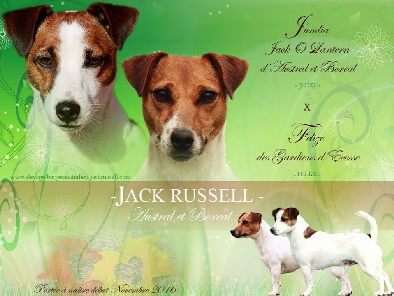 D'Austral Et Boréal - Jack Russell Terrier - Portée née le 04/11/2016
