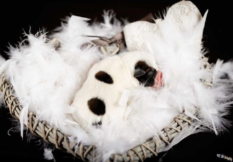 D'Austral Et Boréal - Jack Russell Terrier - Portée née le 22/05/2016