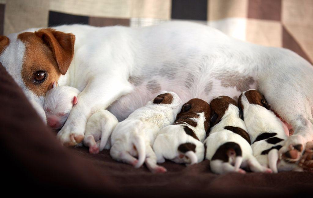 D'Austral Et Boréal - Jack Russell Terrier - Portée née le 13/10/2017
