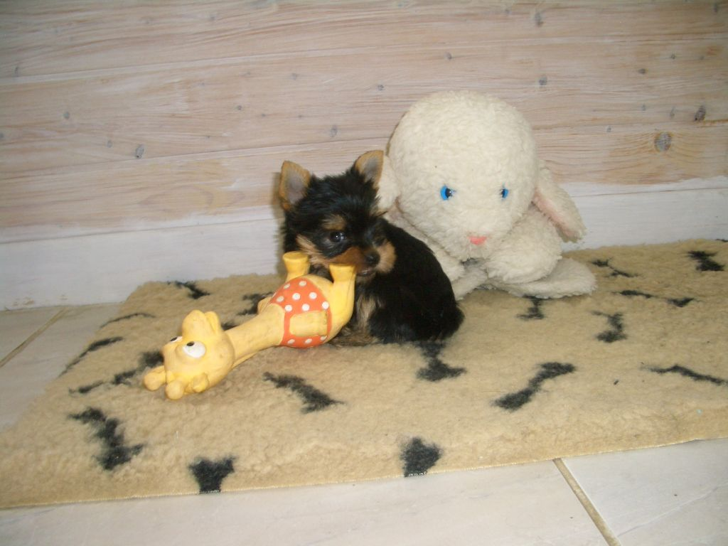 ONLINE - Yorkshire Terrier