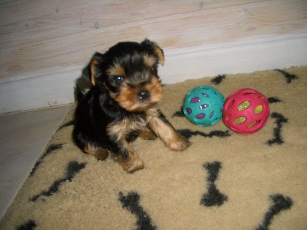 Du Clos De Salvaterra - Chiot disponible  - Yorkshire Terrier