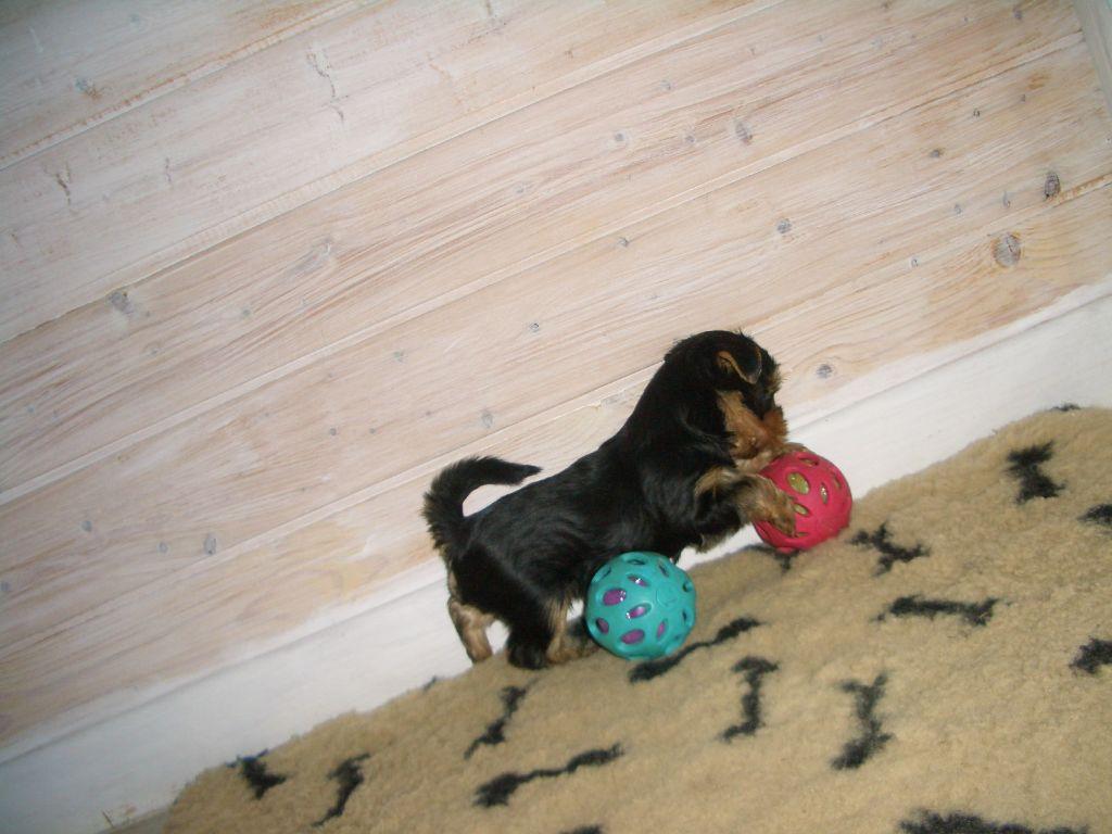 OYE - Yorkshire Terrier