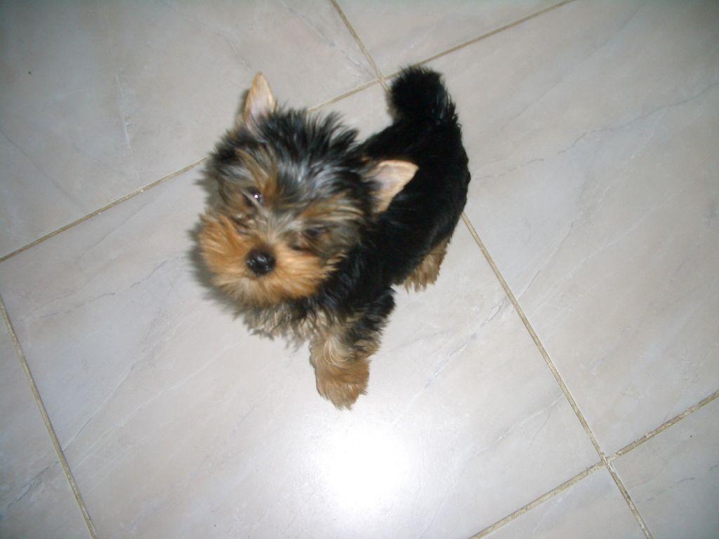 ONDINE - Yorkshire Terrier