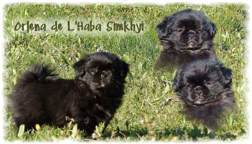 De L'haba Simkhyi - Chiot disponible  - Epagneul tibetain