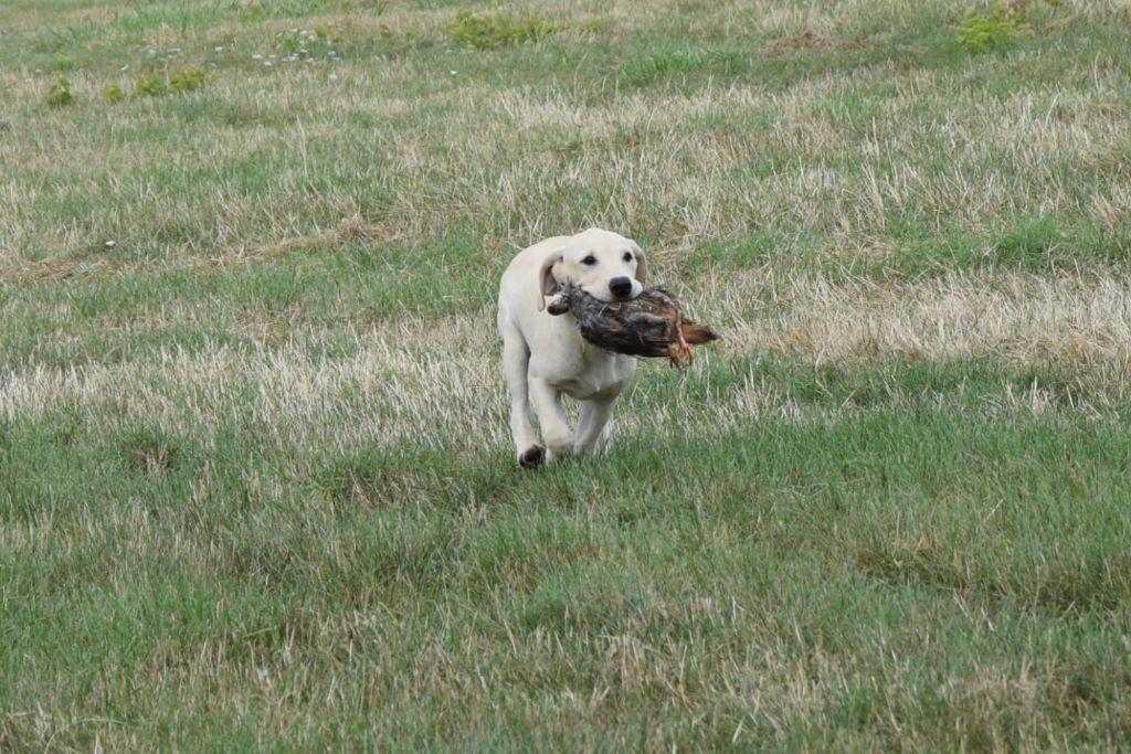 femelle sable - Labrador Retriever