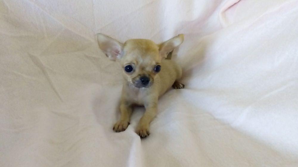 de venkata - Chiot disponible  - Chihuahua