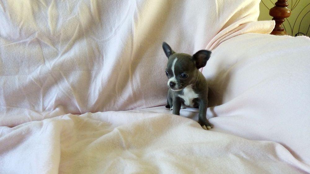 O'MILOU - Chihuahua