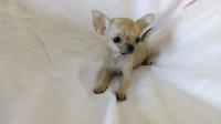 Chihuahua - de venkata