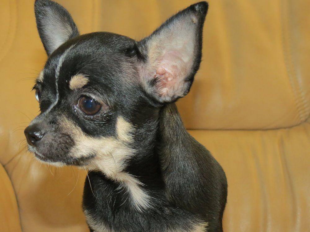 ORGANZA - Chihuahua