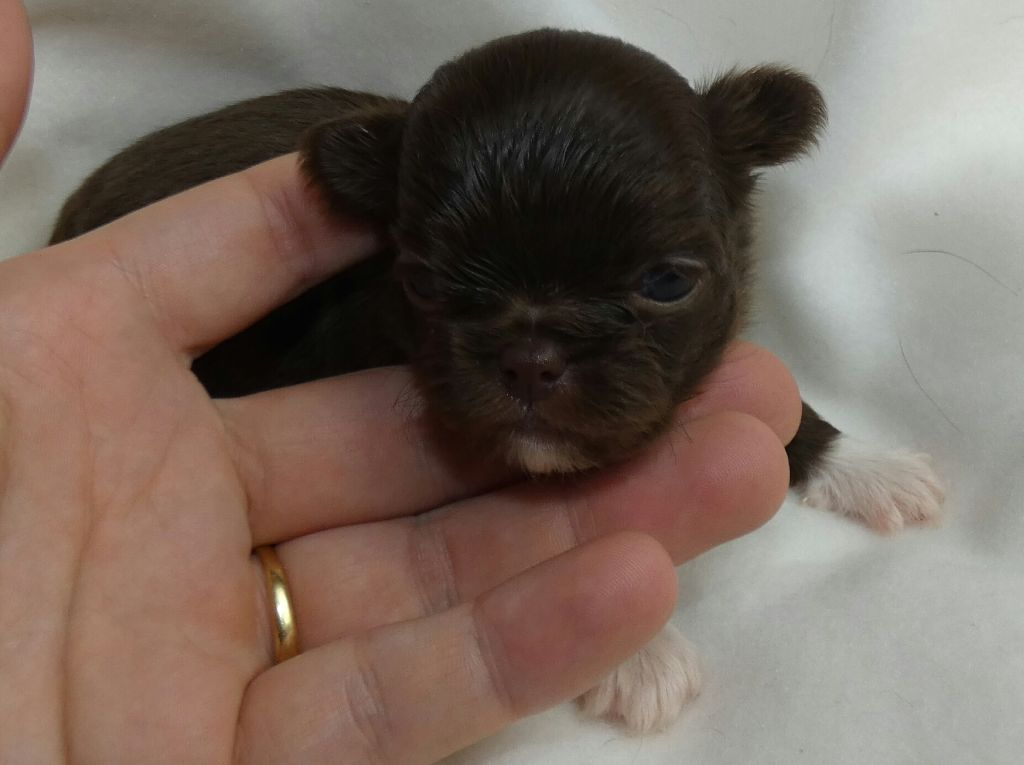 des ptits dragons de cupidon - Chiot disponible  - Chihuahua