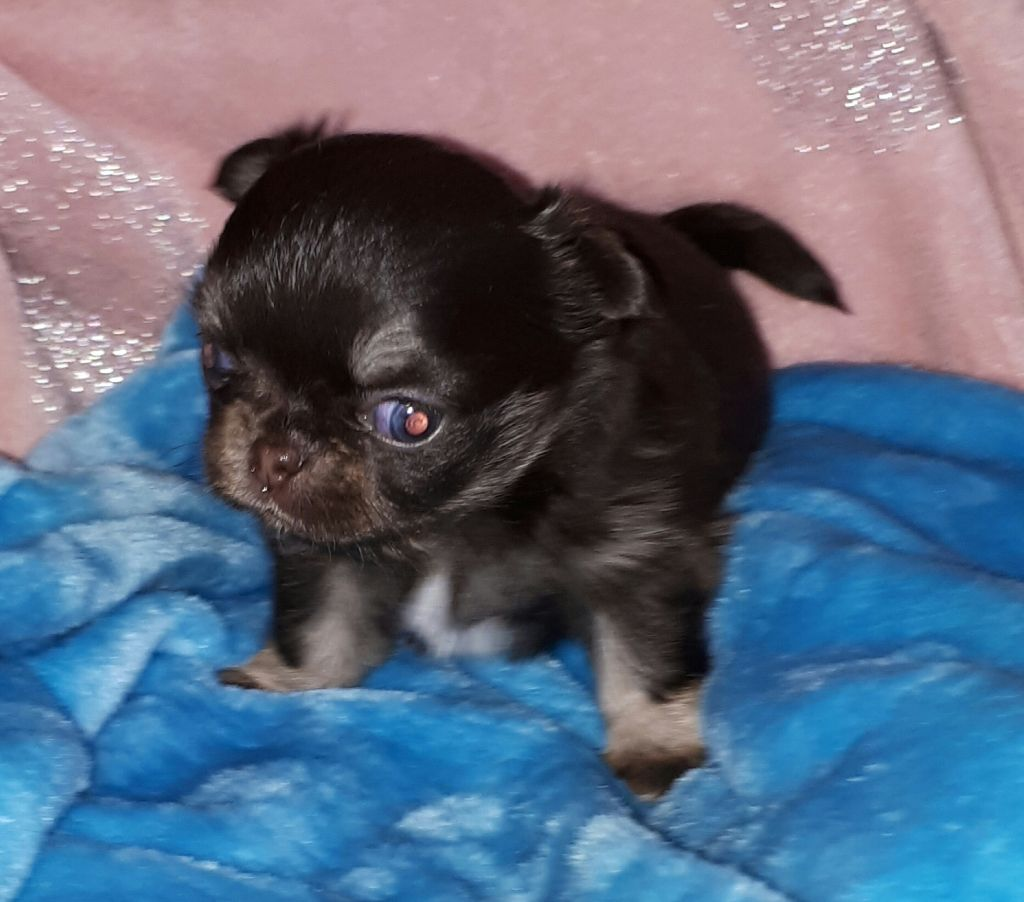 Nelson - Chihuahua