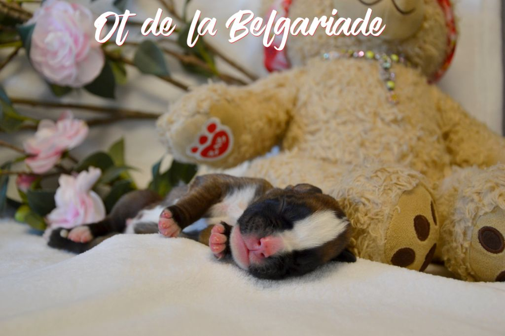 De La Belgariade - Chiot disponible  - Boxer