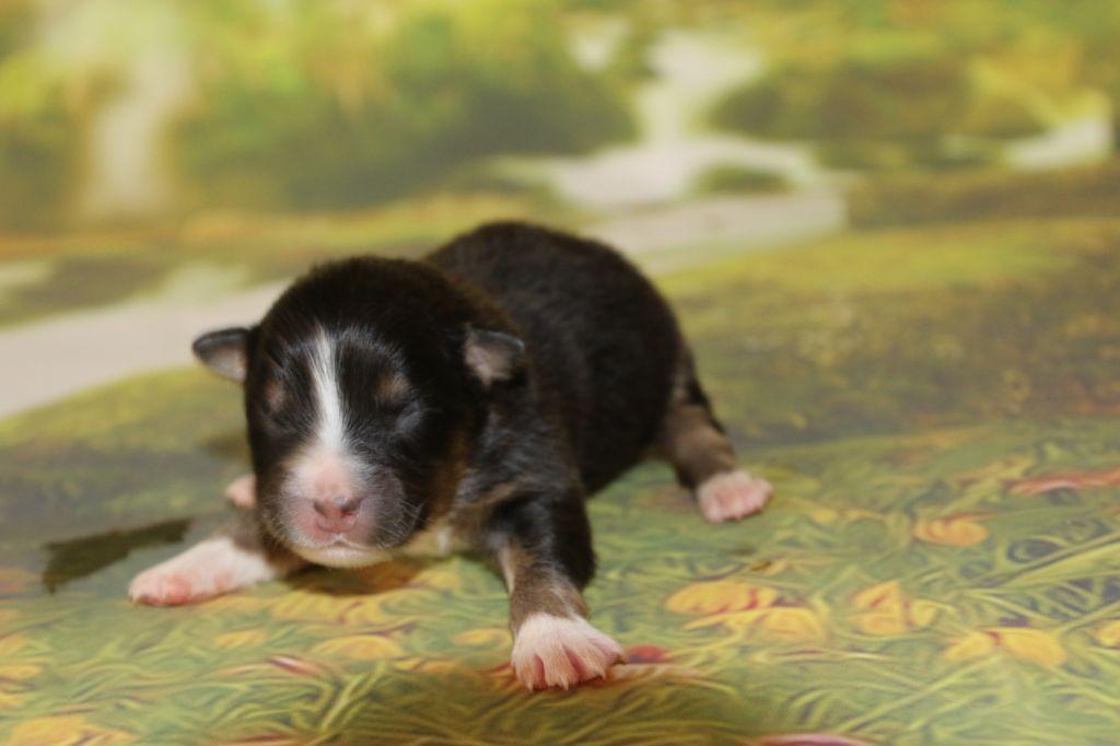 accueil elevage du domaine de la canurie eleveur de chiens berger australien. Black Bedroom Furniture Sets. Home Design Ideas