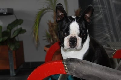 Accueil - Boston terrier : Elevage Lord Roy's - eleveur de ...
