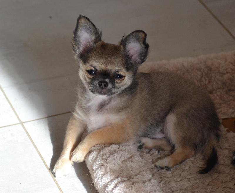 Chiot - Elevage Du Moulin Aux Merles - eleveur de chiens Chihuahua poil long LOF dans