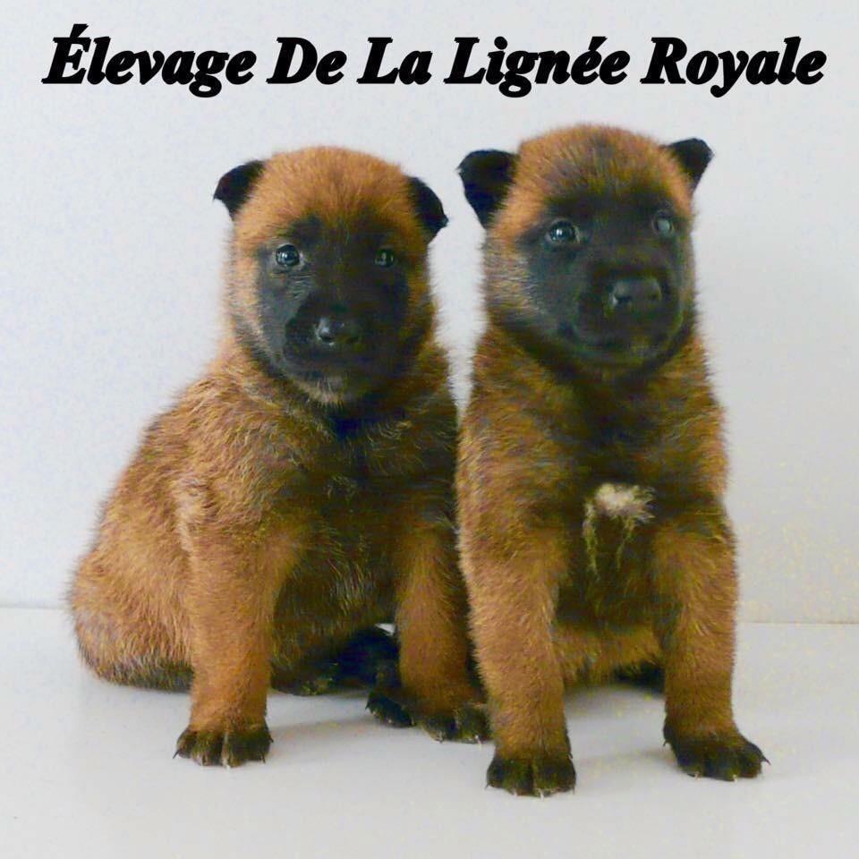 De La Lignée Royale - Portées prévues pour 2019