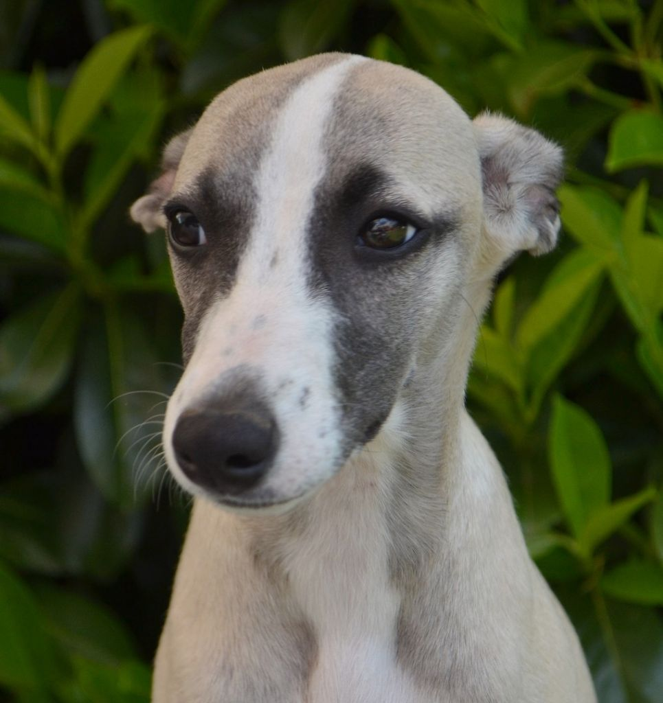 OH BAMBY DOUCE ROMANCE - Whippet