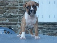 American Staffordshire Terrier - Paradise Of Crystal Dogs