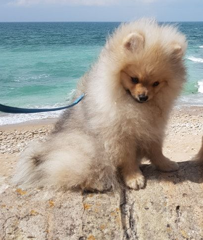 Daddy Angel - Chiot disponible  - Spitz allemand