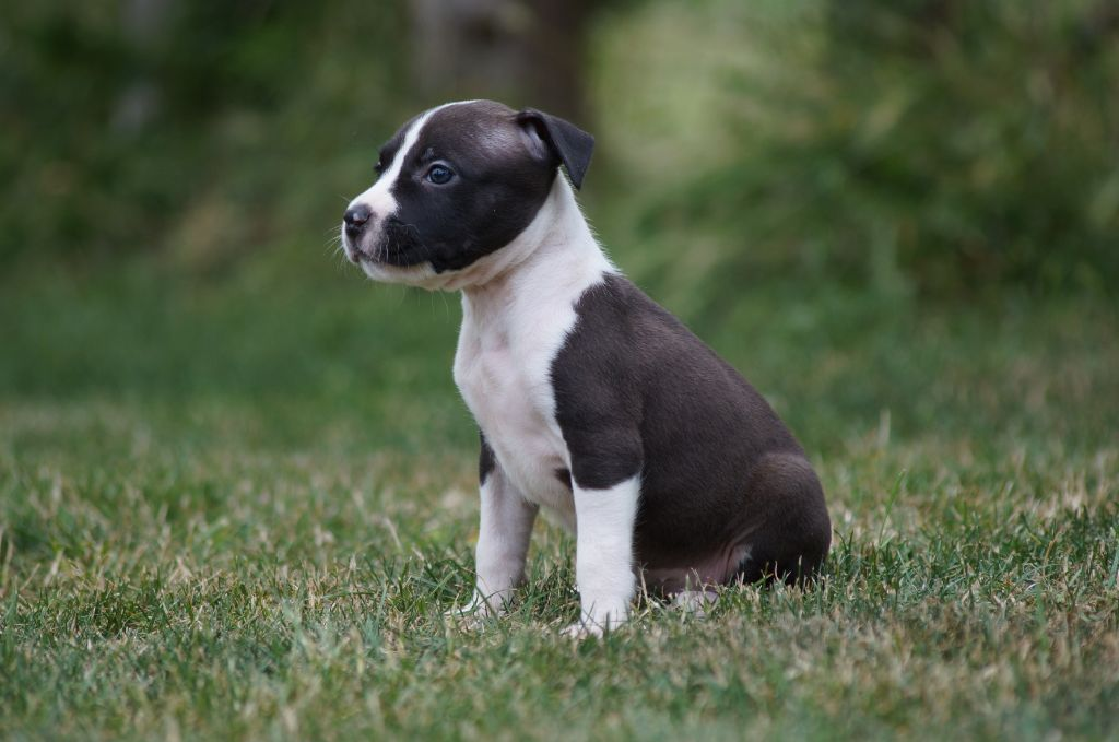 PHARA collier violet - American Staffordshire Terrier