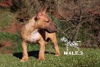 Bull Terrier Miniature - hell's line