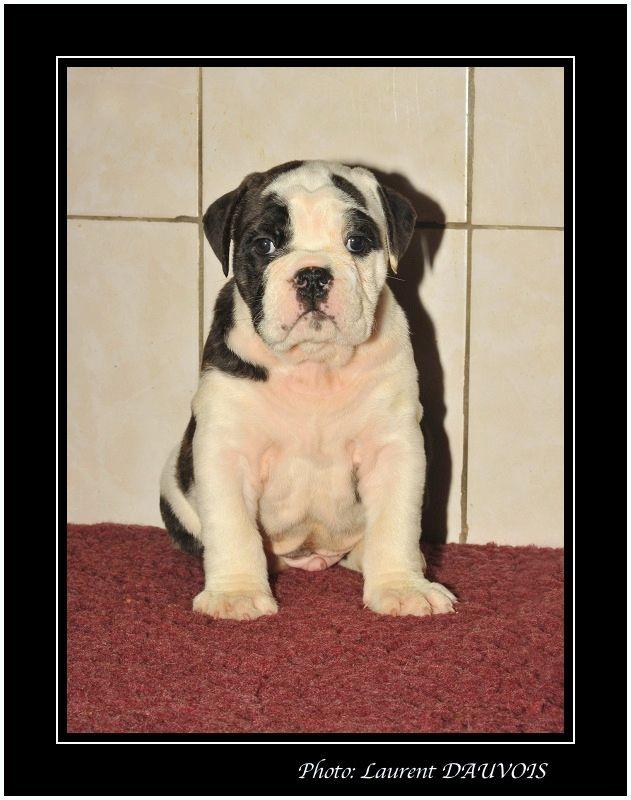 De la landerie - Chiot disponible  - Bulldog continental