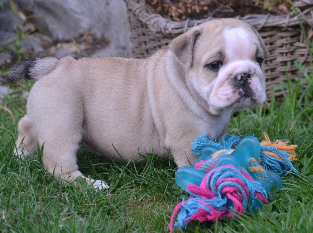 Of Pretty Master Bulldog - Chiot disponible  - Bulldog Anglais