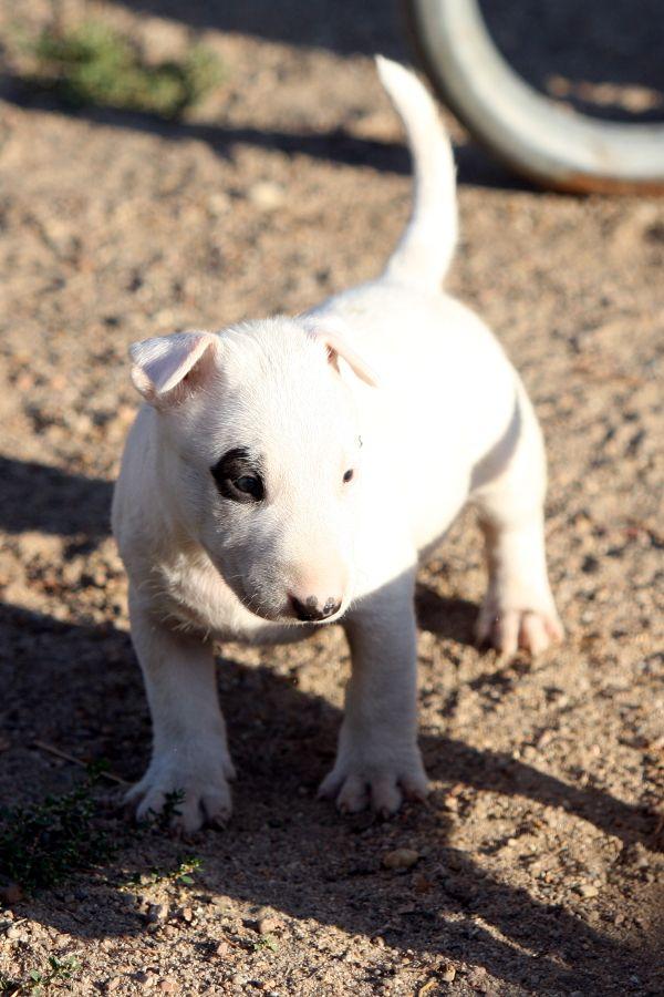 CHIOT - Bull Terrier