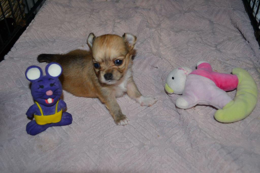 OSYRIS du Royaume d'YDELMAC - Chihuahua