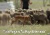 - Finwë au travail sur troupeaux d' Ovins