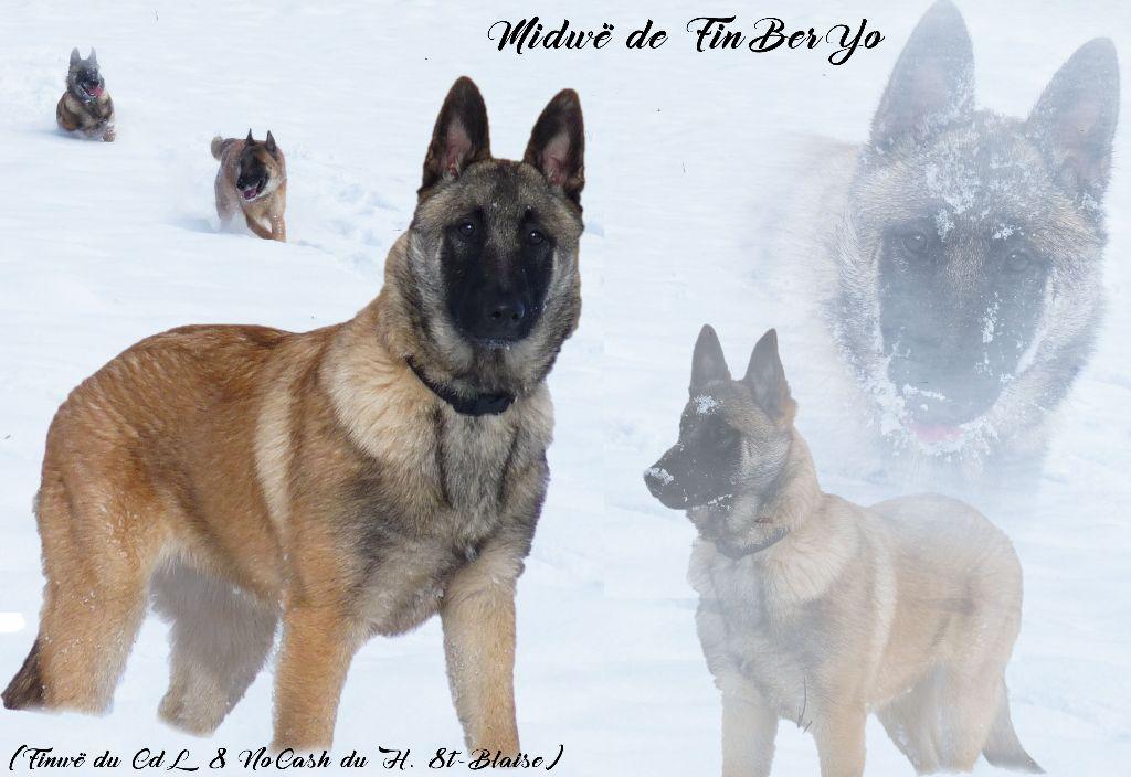 Chien - Elevage De Finberyo - eleveur de chiens Berger