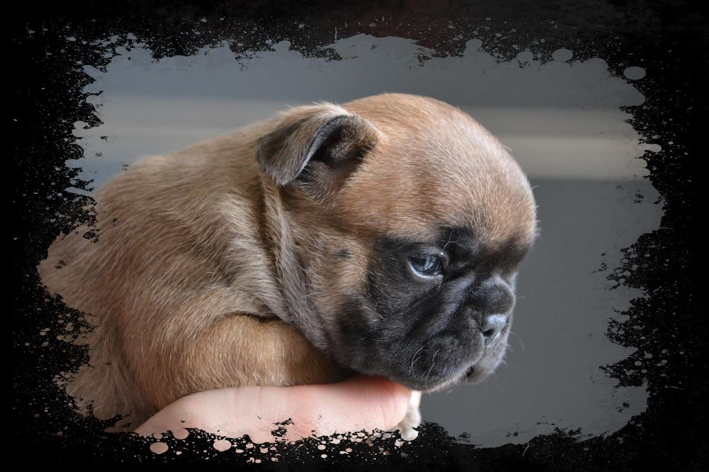 Eden Of The Beauty As - Chiot disponible  - Bouledogue français