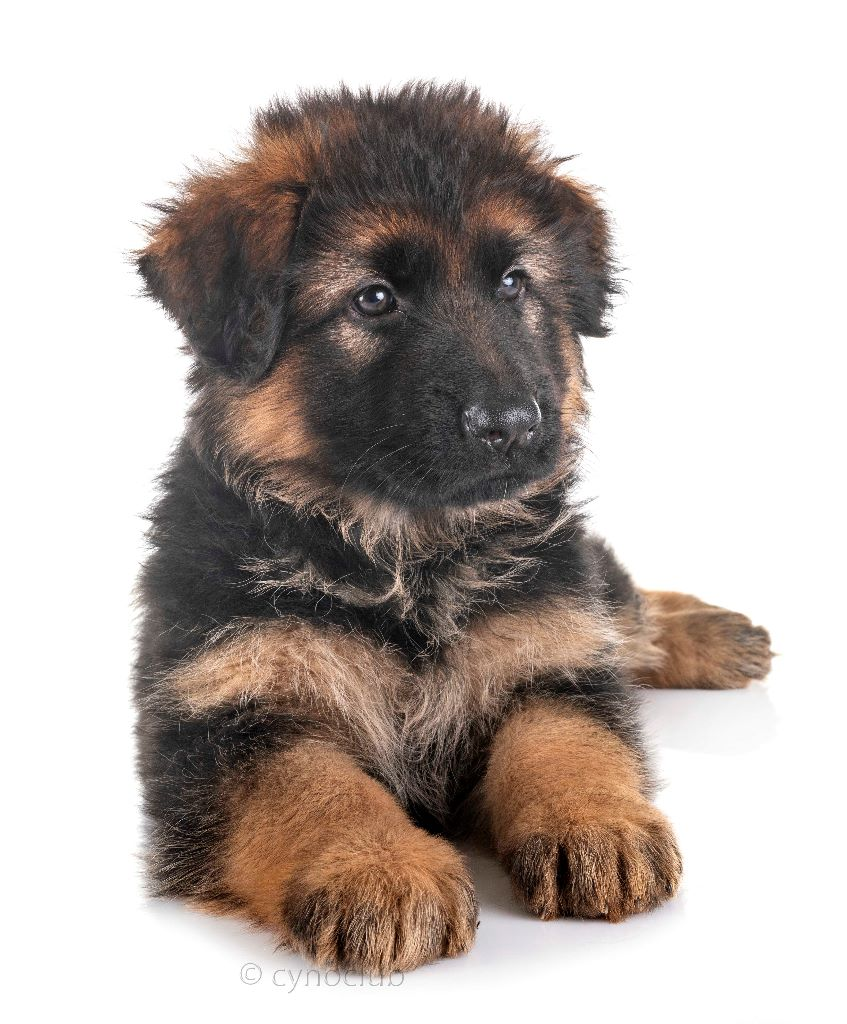 CHIOT N°1 - PARKER - Berger Allemand Poil Long