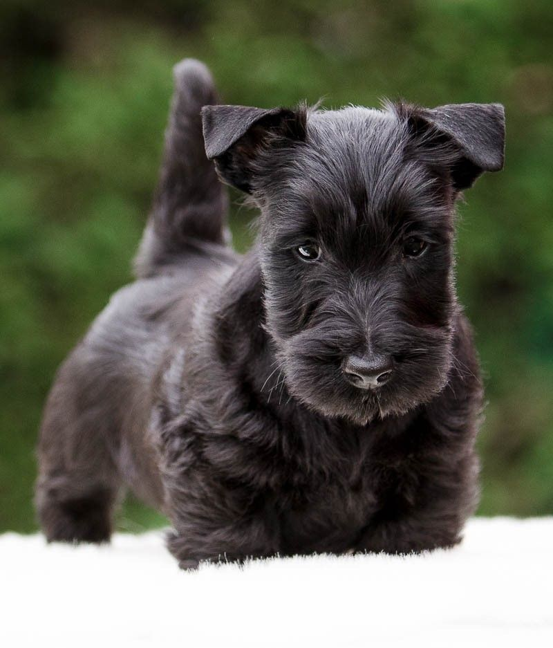 You'Dream'Scott - Chiot disponible  - Scottish Terrier