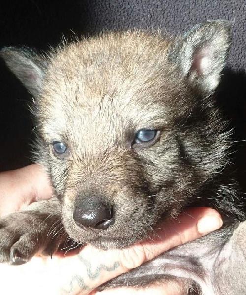 Van De Rib Of Wolf - Chiot disponible  - Chien-loup tchecoslovaque