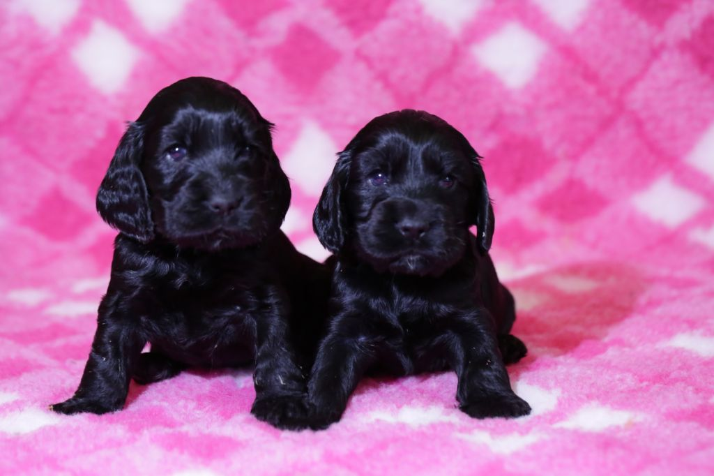 De La Paume Doree O Jolicroc - Chiot disponible  - Cocker Spaniel Anglais